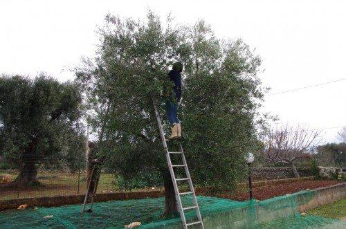 Olivenbäume in Apulien